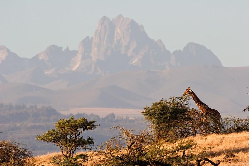Reticulated Giraffe (Giraffa camelopardalis reticulata) with Mount Kenya in the Background, Lewa Wildlife Conservancy, Kenya, Africa