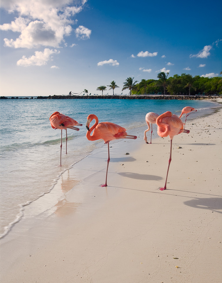 Caribbean Beach with Pink Flamingos, Aruba