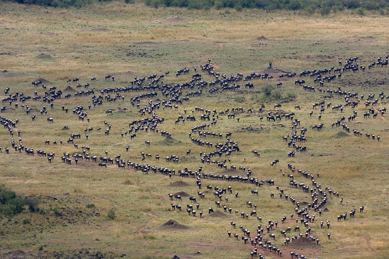 Wildebeest, Connochaetes taurinus, Migration, Red Oat Grass, Masai Mara National Reserve, Kenya, Africa
