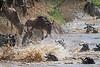 Wildebeest Migration, Connochaetes taurinus, Masai Mara, Kenya, Africa