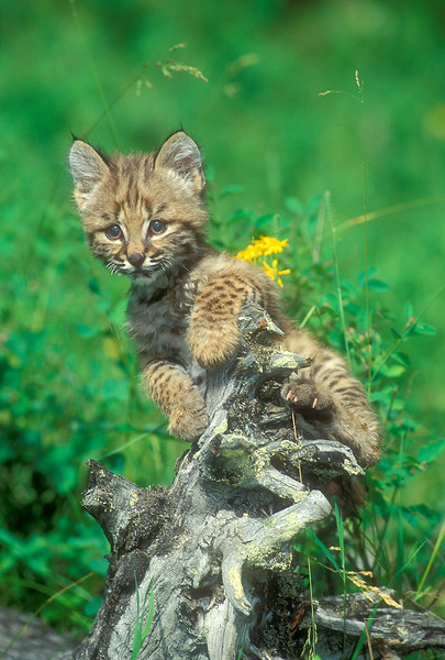 Six Week Old Male Bobcat (Lynx rufus) Climbing on a Tree Stump, Controlled Conditions