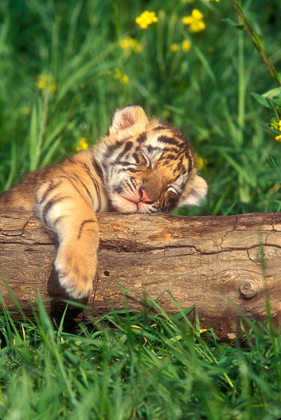 Sleeping four month old Tiger Cub (Pantera tigris tigris), controlled conditions