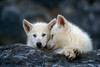 Two Young Arctic Wolf Pups (Canis lupus), Controlled Conditions