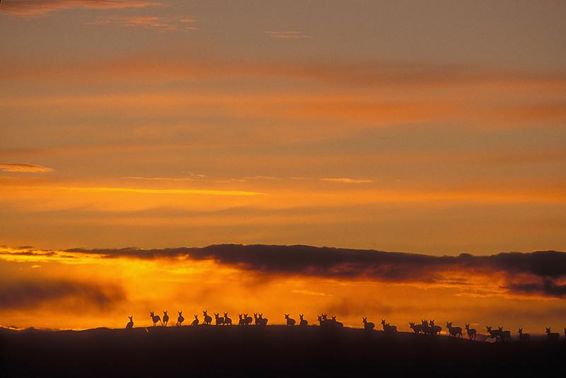 Herd of Pronghorn  (Antilocarpa americana) at Sunset near Pinedale, Wyoming
