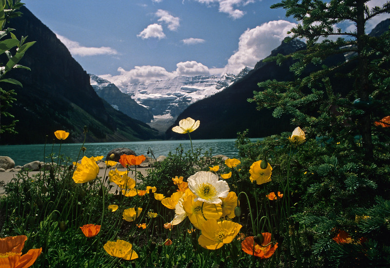 Poppies, Lake Louise, Banff National Park, Alberta, Canada