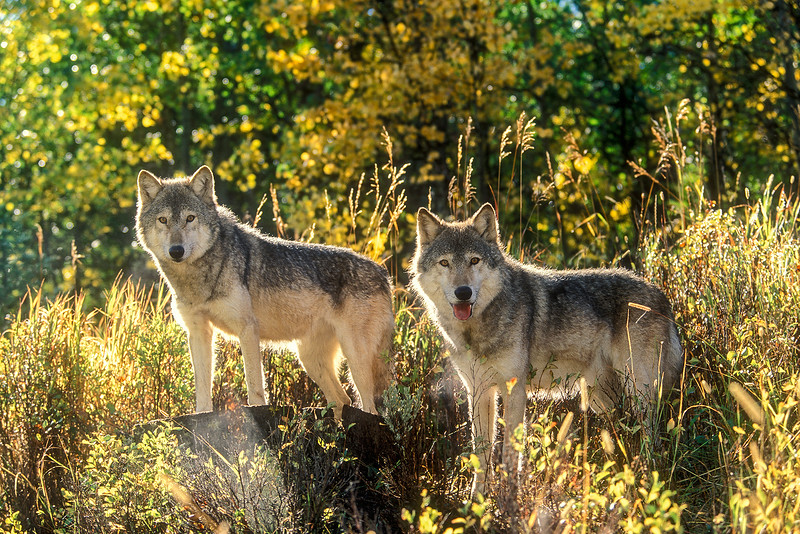 Two Gray Wolves (Canis lupus), autumn, controlled conditions