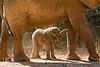 Newborn Baby African Elephant, Loxodonta africana, Samburu National Reserve, Kenya, Africa, Proboscidea Order, Elephantidae Family