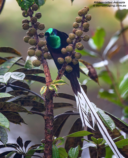Ribbon-tailed Astrapia male