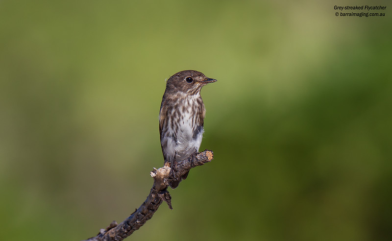 Grey-streaked Flycatcher
