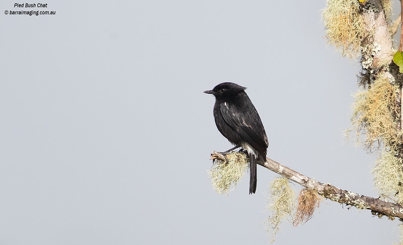 Pied Bush Chat male
