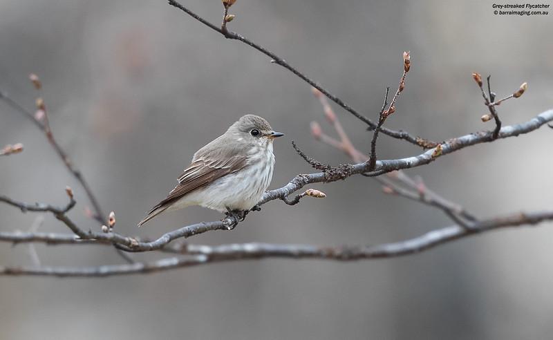 Grey-streaked Flycatcher