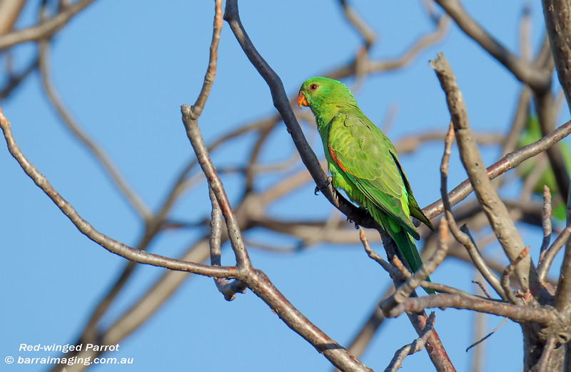 Red-winged Parrot female