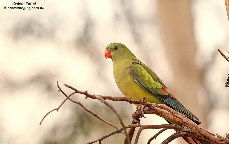 Regent Parrot female