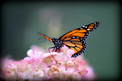 A Monarch Butterfly..