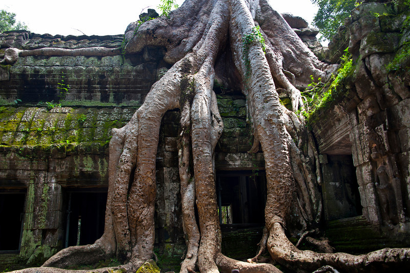 Ta Prohm Temple.  Trees about 400 years old.  Temple dedicated  1186AD