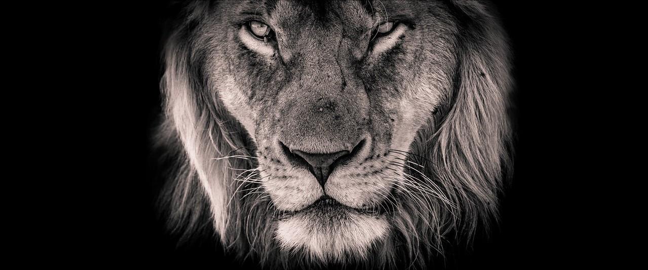 Photo of male lion on the Masai Mara in Kenya
