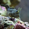 Lawnmower Blenny - Face