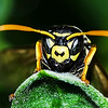 Paper Wasp Head
