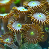 Zoanthids - Green Center