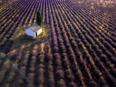 Aerial view of farmhouse and cypress tree in a Lavender field