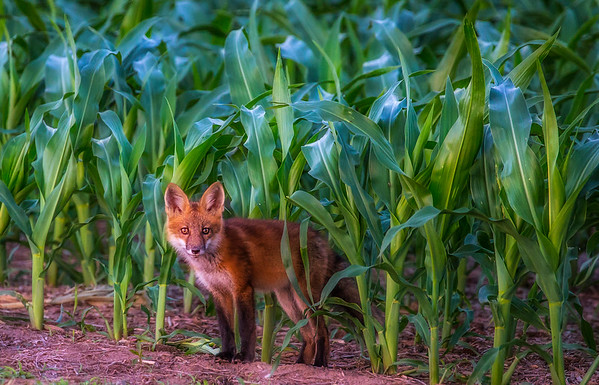 Fox in Iowa Corn