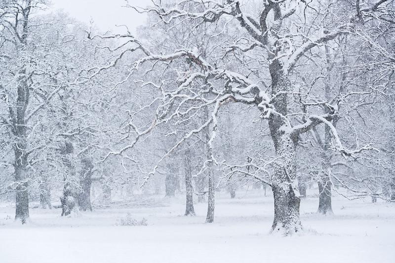 Snowfall in the Oak Tree Pasture