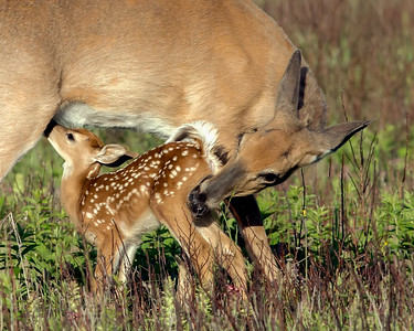 Doe and Fawn_05