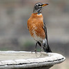 American Robin with an Unusual Look