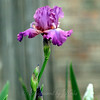 Fuschia Bearded Iris