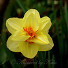 Orange and Yellow Daffodil