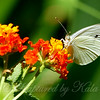 Cabbage White Butterfly on Lantana
