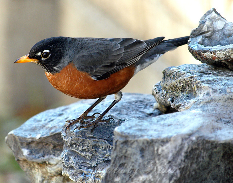 Male American Robin Checking Out the Water in My Rock Fountain