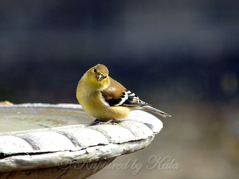 Adorable Goldfinch