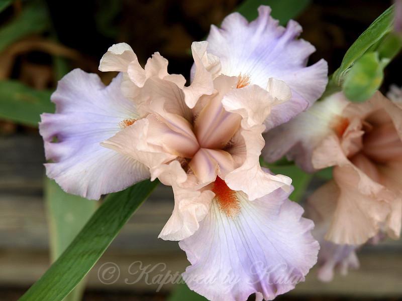 Boysenberry Sherbet Ice Cream Bearded Iris