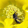 Yellow Prickly Pear Cactus Flower With a Surprise Visitor