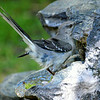 The Mockingbird Finally Decided to Take its Bath in the Smaller Part of the Fountain