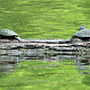 Two Turtles on a Sea of Green