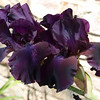 Deep Purple Bearded Iris