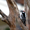 Downy Woodpecker With Feathers Fluffed For Warmth as the Cold Front Blew In