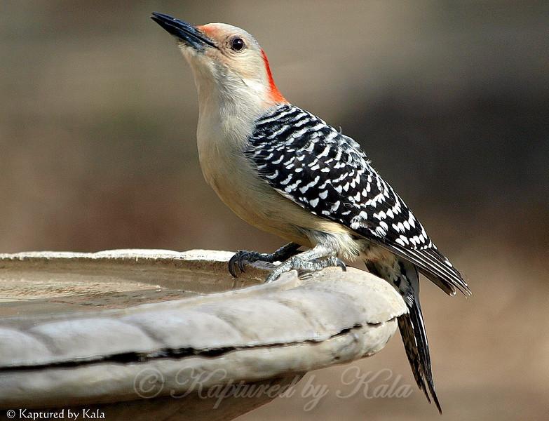 First Time I've Had a Woodpecker at my Birdbath.