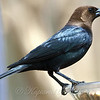 Male Brown-headed Cowbird in the Sunshine