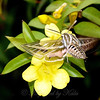 White Lined sphinx moth in Carolina Jessamine