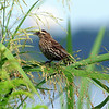 Female Red-winged Blackbird Among Grass Seeds