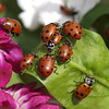 Lady Bug Traffic Jam