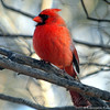Nothing Like a Cardinal to Brighten up a Winter Afternoon