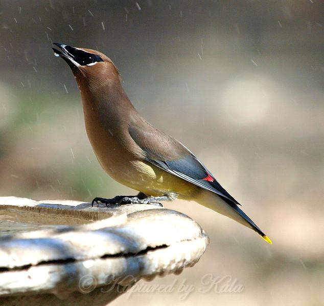 Cedar Waxwing at My Bird Bath