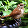 Carolina Wren on my Flower Pot