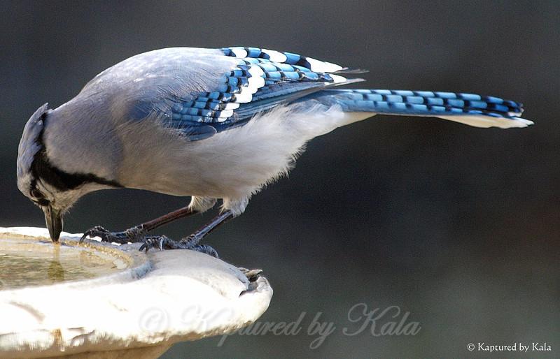 Powder Blue Jay