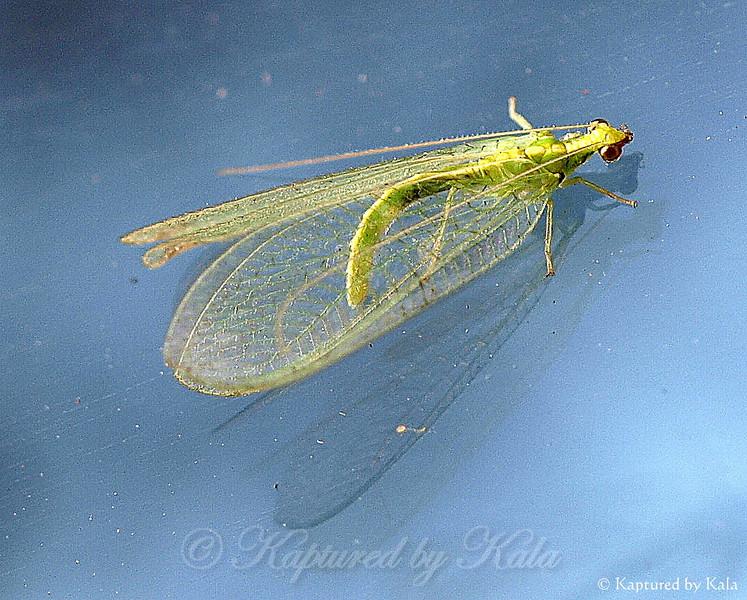 Little Green Lacewing on my Window