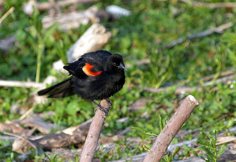 Red-wing Blackbird Ruffling His Feathers